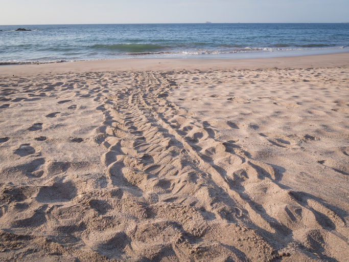 Sea Turtle Tracks in the Sand 1