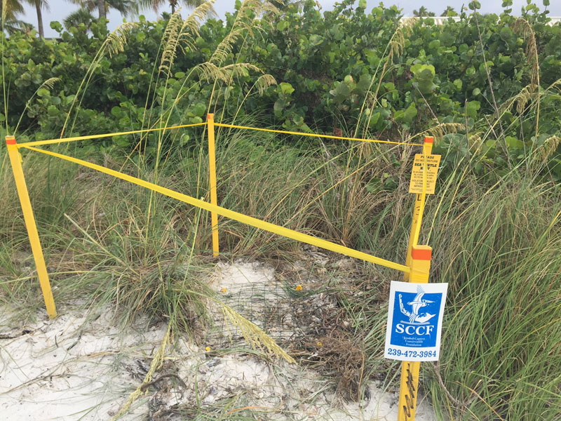 turtle nest sanibel island sundial resort 2018