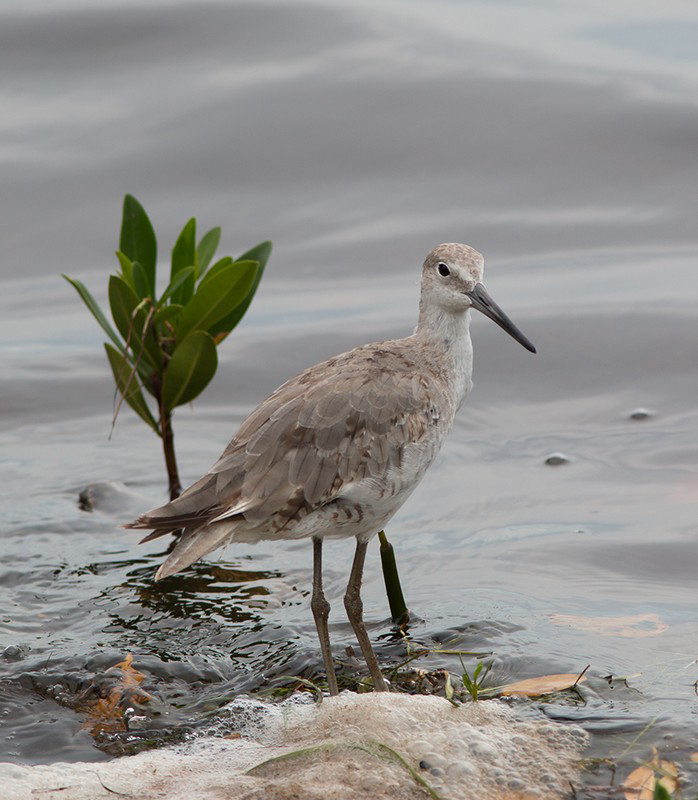 willet shore bird photo by paul smith