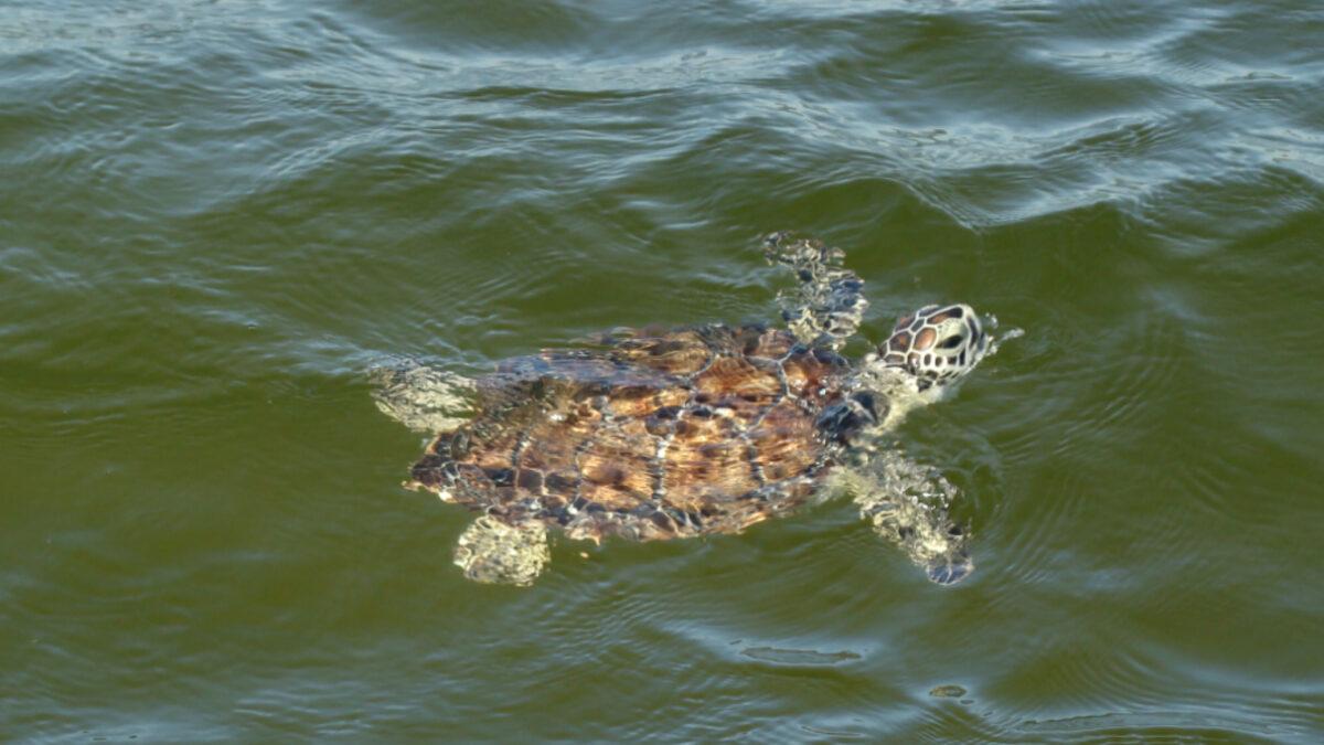 green sea turtle swimming in gulf of mexico sanibel island