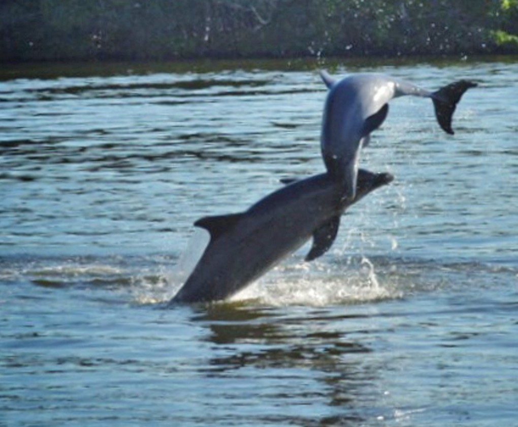 adventures in paradise dolphins jumping sanibel island