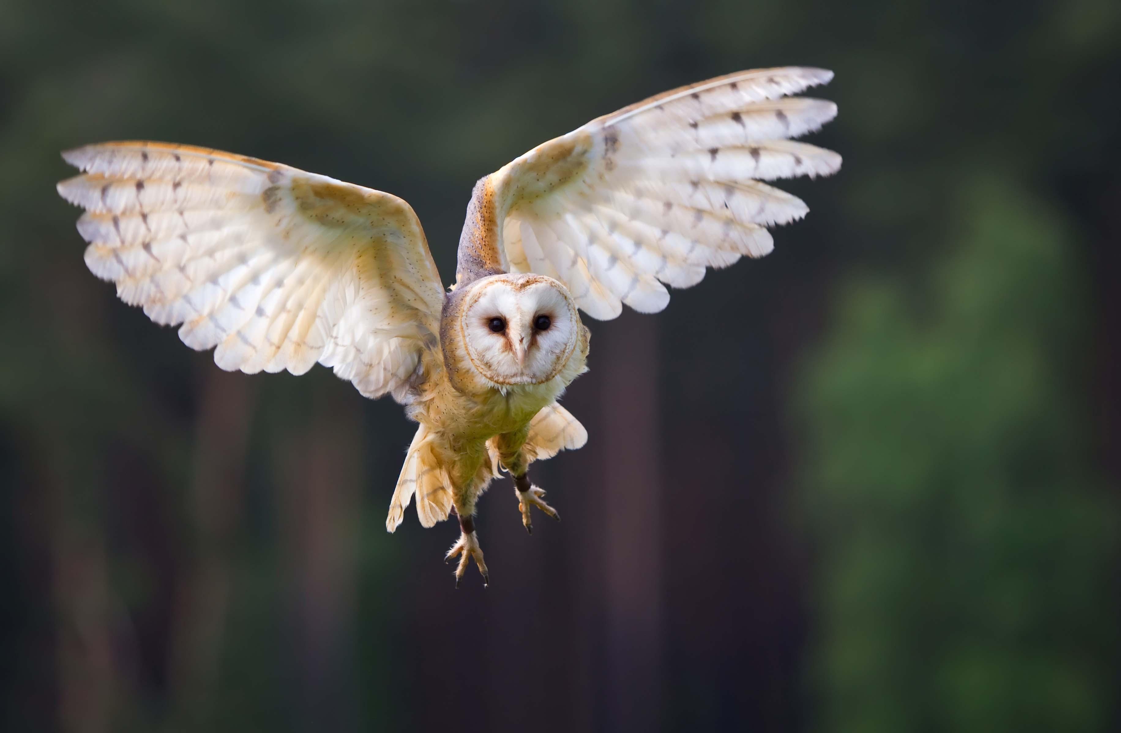 barn owl in the flight