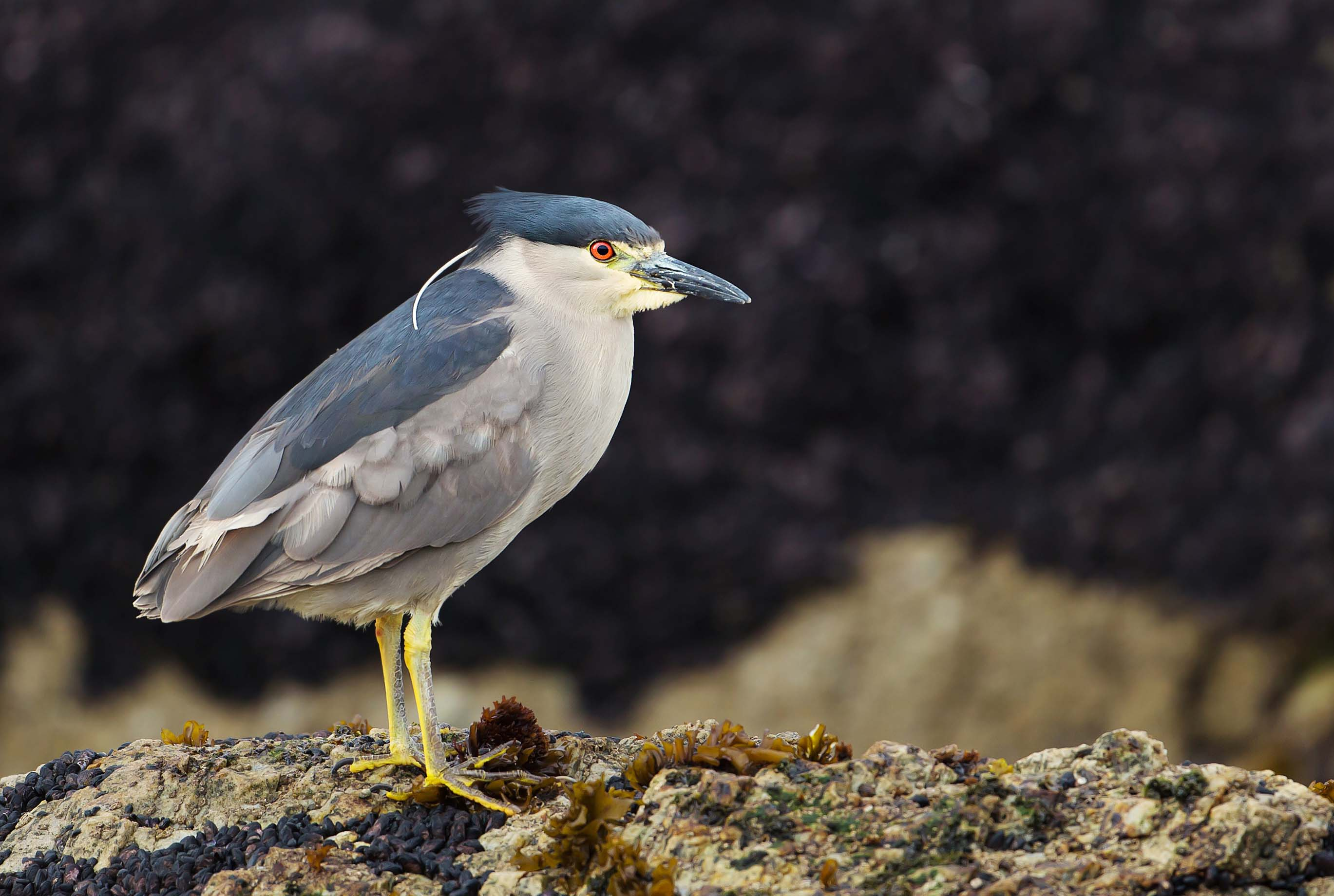 Close up of a black-crowned night heron standing on a rocky coast