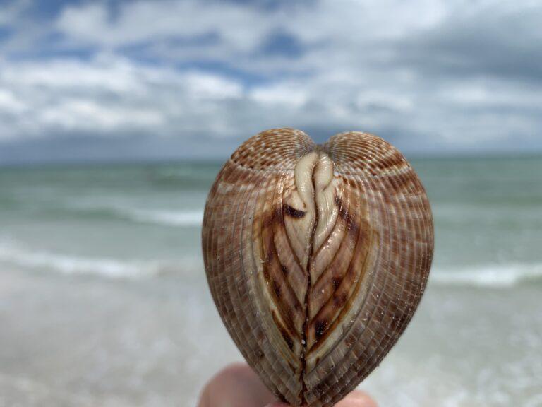 Cockle sundial sanibel shell