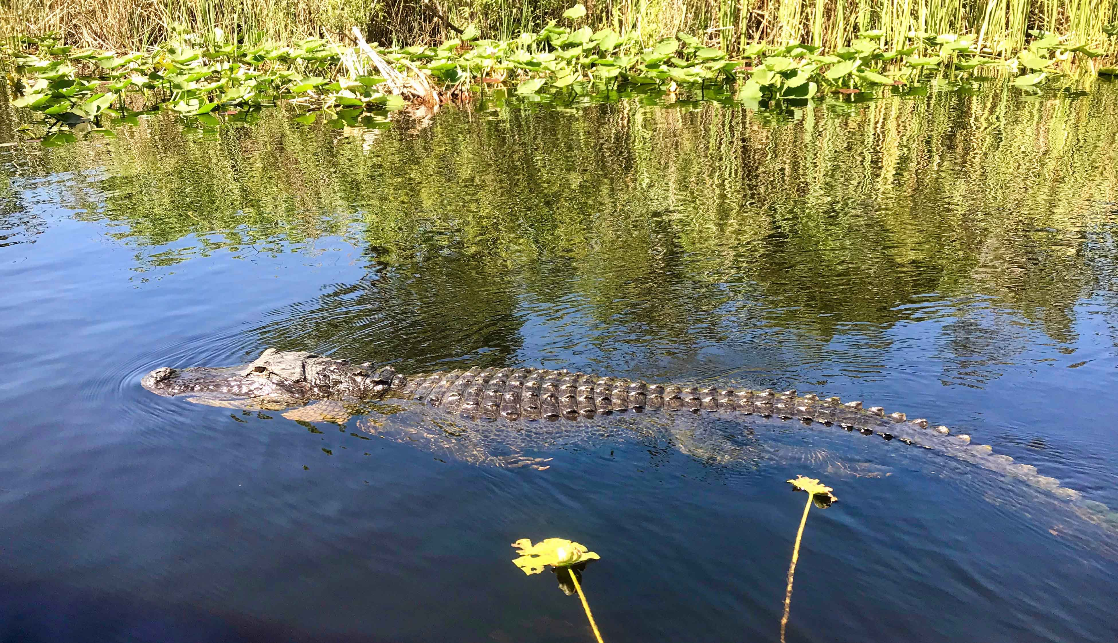 Alligator Swimming in Everglades Swamp