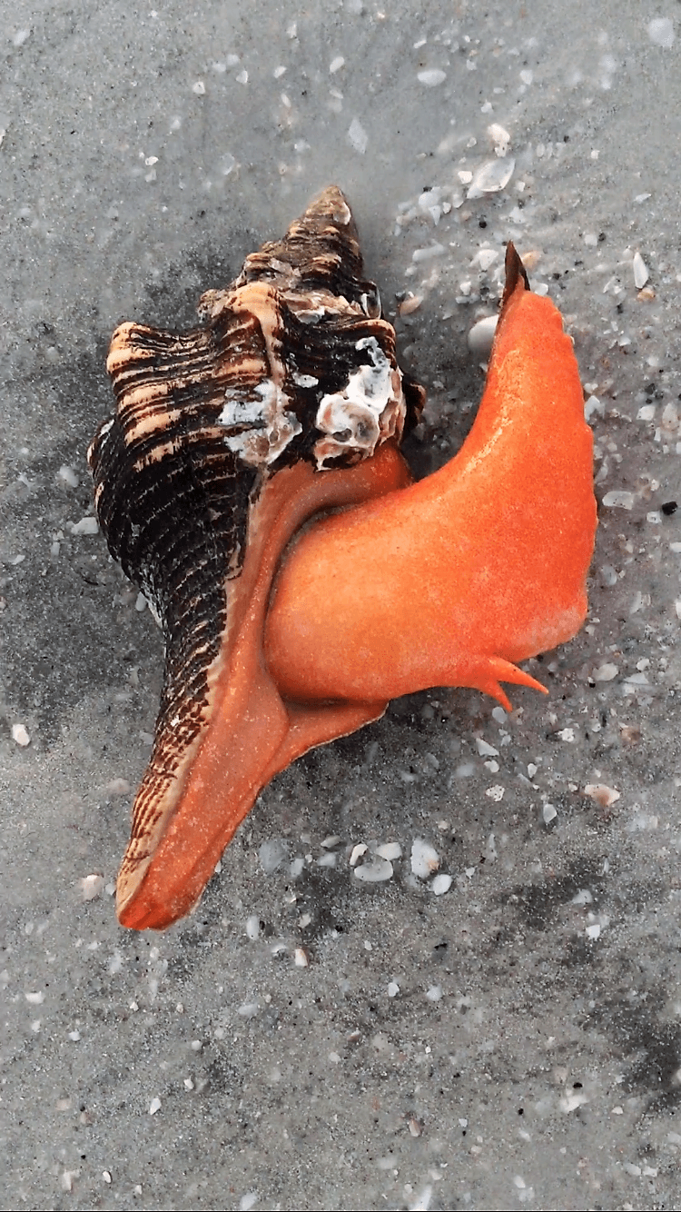 horse conch live sanibel island live shell