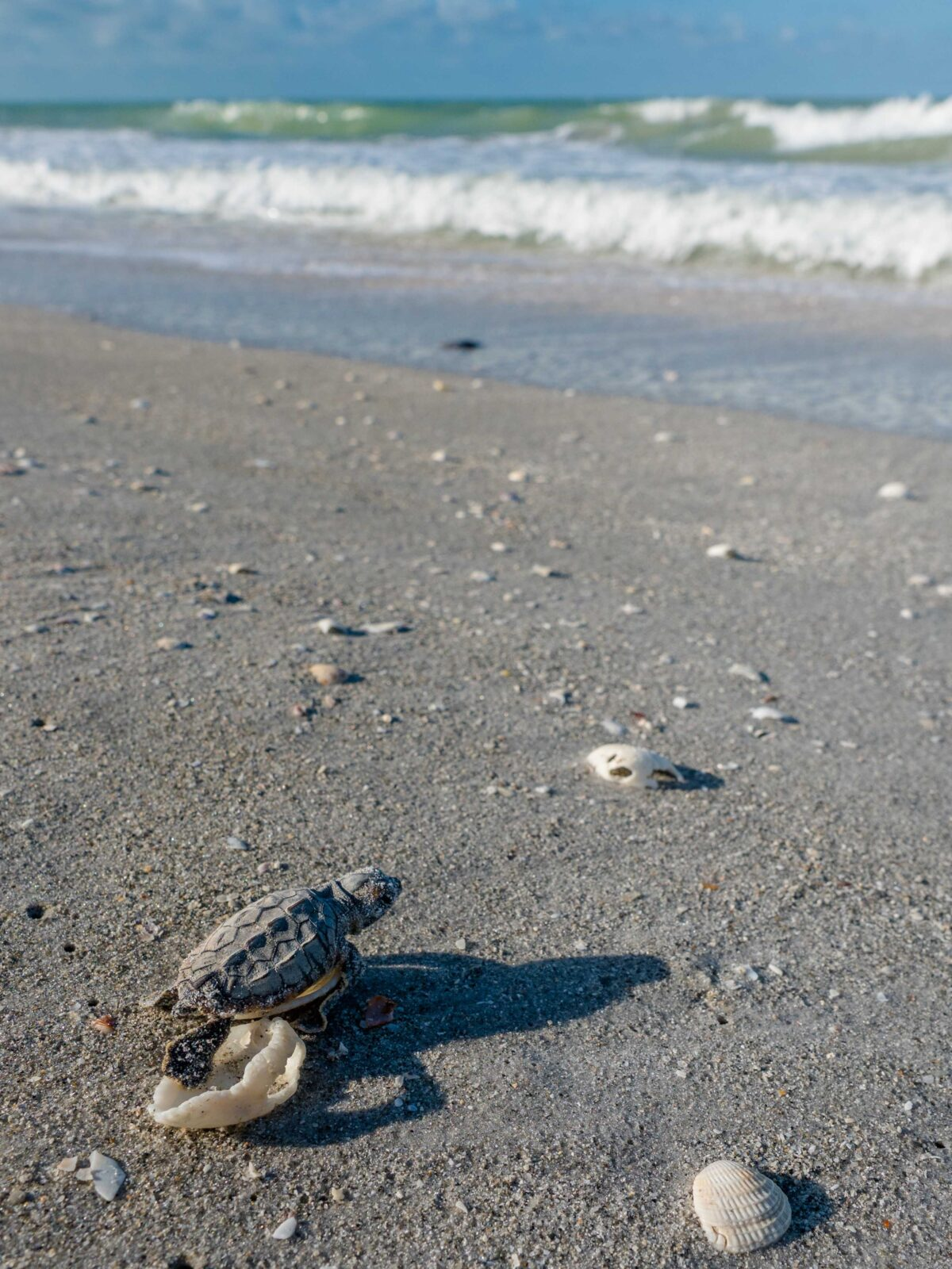 sea turtle hatchling sccf sanibel island