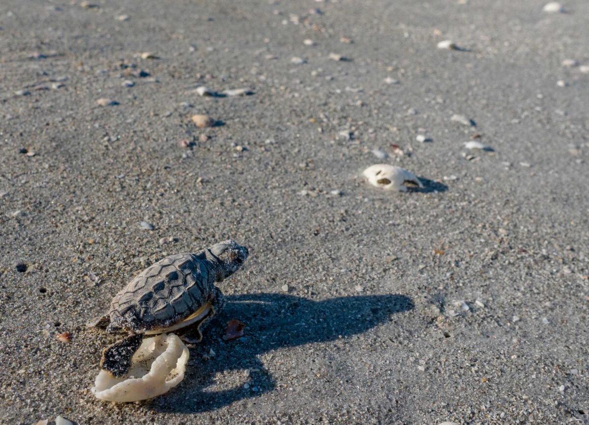 loggerhead turtle hatchling sundial sanibel island
